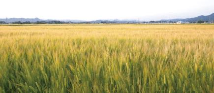 大麦の生産日本一!大麦へのこだわり